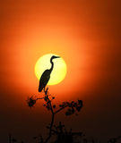 (Grey Heron) Royaltyfri Foto