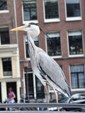 Grey heron 5. This is grey heron. Many of them are living at the Amsterdam channels and quays Royalty Free Stock Image