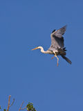 The grey heron Stock Image