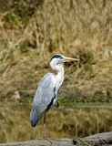 Grey Heron Stock Photography