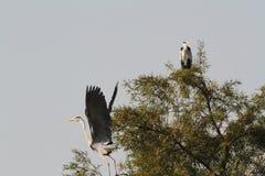 Grey Heron Fotografia de Stock