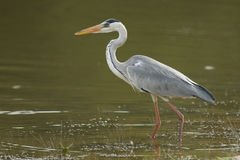Free Grey Heron Stock Photos - 7243823
