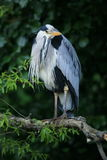 Grey heron. A grey heron perched on a branch in a tree against a dark background.He is an adult heron in full plumage and is pin sharp Royalty Free Stock Photos