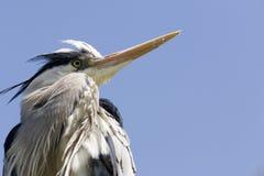 Grey heron. Head of grey heron stock image