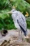Grey heron Stock Photos