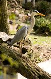 Grey heron. Park Avifauna, the Netherlands Royalty Free Stock Photos