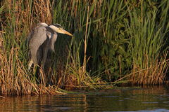 Grey heron. Catching the last bits of sun before the cold night Royalty Free Stock Images