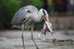 Grey Heron-Abschluss oben des Essens eines Fisches Stockbild