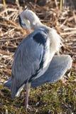 The grey heron Royalty Free Stock Image