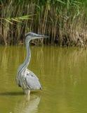 Grey Heron alla laguna Fotografia Stock Libera da Diritti