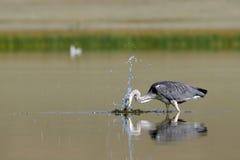 Grey Heron-Angriff für die Fische Lizenzfreie Stockfotografie