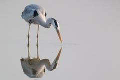Grey Heron anseende i vatten Royaltyfri Fotografi