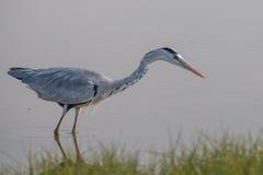 Grey Heron anseende i vatten Arkivfoto