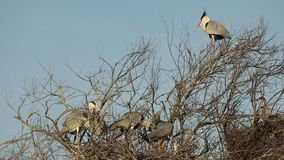 Grey heron, aquatic birds on nest tree, animal behavior in the nature tree habitat, western Europe, wildlife scene,nesting birds. Sitting on tree with sky in stock video
