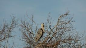Grey heron, aquatic birds on nest tree, animal behavior in the nature tree habitat, western Europe, wildlife scene,nesting birds. Sitting on tree with sky in stock footage