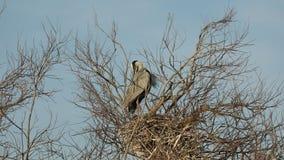 Grey heron, aquatic birds on nest tree, animal behavior in the nature tree habitat, western Europe, wildlife scene,nesting birds. Sitting on tree with sky in stock video footage
