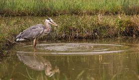 Grey Heron catching a fish Royalty Free Stock Photography
