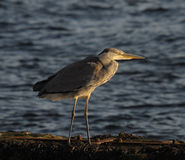 Grey Heron (Ardea Cinera). Grey Heron on a mooring wall in warm afternoon light Royalty Free Stock Photography