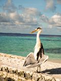 Grey Heron Ardea Cinera standing on a beach in the Maldives d stock image
