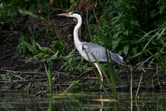 Grey Heron, Ardea cinerea. Waiting on the pond. National park Zasavica Serbia Stock Images