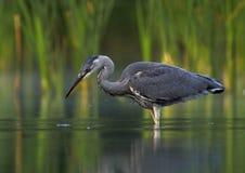 Grey heron (ardea cinerea). Photo of young grey heron royalty free stock images