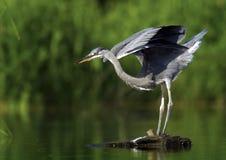 Grey Heron (Ardea cinerea). Photo of young grey heron stock images