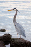 Grey heron (Ardea cinerea ) Royalty Free Stock Images