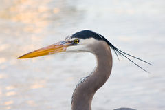 Grey heron (Ardea cinerea ) Royalty Free Stock Image