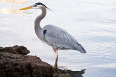 Grey heron (Ardea cinerea) Stock Photos
