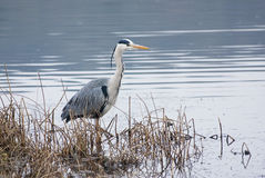 Grey Heron (Ardea cinerea) Royalty Free Stock Photos