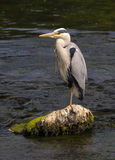 Grey Heron (Ardea cinerea). Standing on a rock in the middle of a stream Royalty Free Stock Images