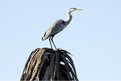 Grey Heron Ardea cinerea Stock Image