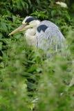 Grey Heron (Ardea cinerea) royalty free stock photography