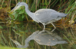 Grey Heron - Ardea cinerea Royalty Free Stock Photo