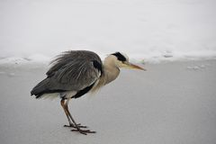 Grey Heron (Ardea cinerea) Royalty Free Stock Images