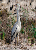 Grey Heron Ardea cinerea Stock Images