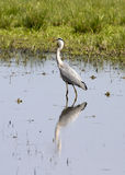 Grey Heron (Ardea cinerea). Standing in the lake Stock Photo