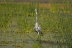 Grey Heron - Ardea Cinerea Stock Images