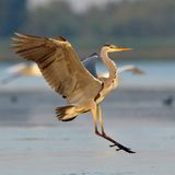 Grey heron (ardea cinerea). Grey heron in natural habitat (ardea cinerea Royalty Free Stock Photo