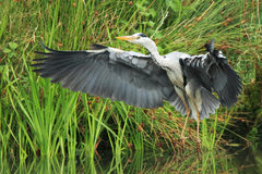 Grey Heron (Ardea cinerea). A grey (gray) heron with outstretched wings coming in to land royalty free stock photography