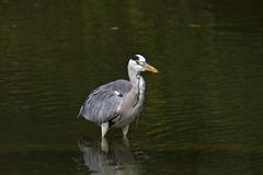 Grey Heron,Ardea cinerea Stock Photos