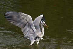 Grey Heron,Ardea cinerea Stock Images