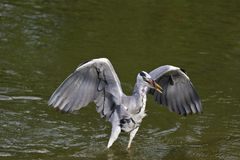 Grey Heron,Ardea cinerea Royalty Free Stock Photo