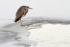 Grey Heron. Ardea cinerea. Royalty Free Stock Photography