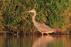 Grey Heron Ardea cinerea Immagine Stock