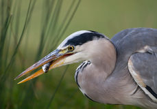 Grey Heron (Ardea cinerea) Imagens de Stock Royalty Free
