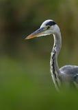 Grey Heron (Ardea cinerea) Fotos de Stock
