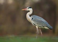 Grey Heron (Ardea cinerea) Imagem de Stock Royalty Free