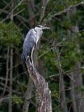 Grey Heron (Ardea cinerea) Royalty Free Stock Image
