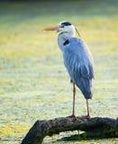 Grey Heron (ardea cinerea) Fotografie Stock